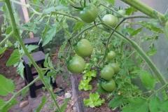 tomates en maduración