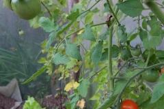 tomates y lechugas